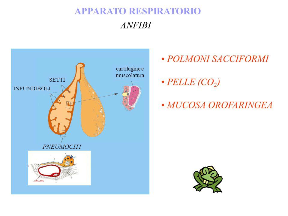 POLMONI SACCIFORMI PELLE (CO 2 ) MUCOSA OROFARINGEA APPARATO RESPIRATORIO ANFIBI SETTI INFUNDIBOLI cartilagine e muscolatura PNEUMOCITI