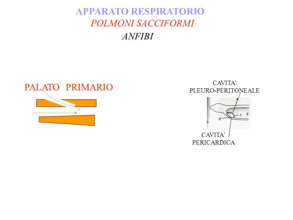 APPARATO RESPIRATORIO ANFIBI PALATO PRIMARIO CAVITA PLEURO-PERITONEALE CAVITA PERICARDICA POLMONI SACCIFORMI
