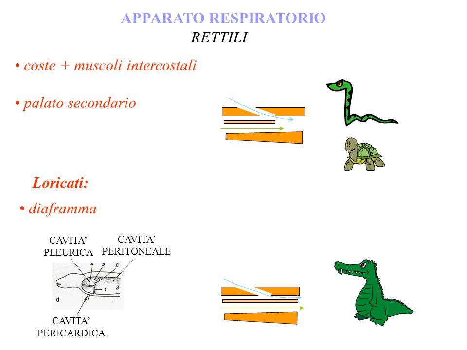 coste + muscoli intercostali palato secondario APPARATO RESPIRATORIO RETTILI CAVITA PERICARDICA CAVITA PERITONEALE CAVITA PLEURICA Loricati: diaframma