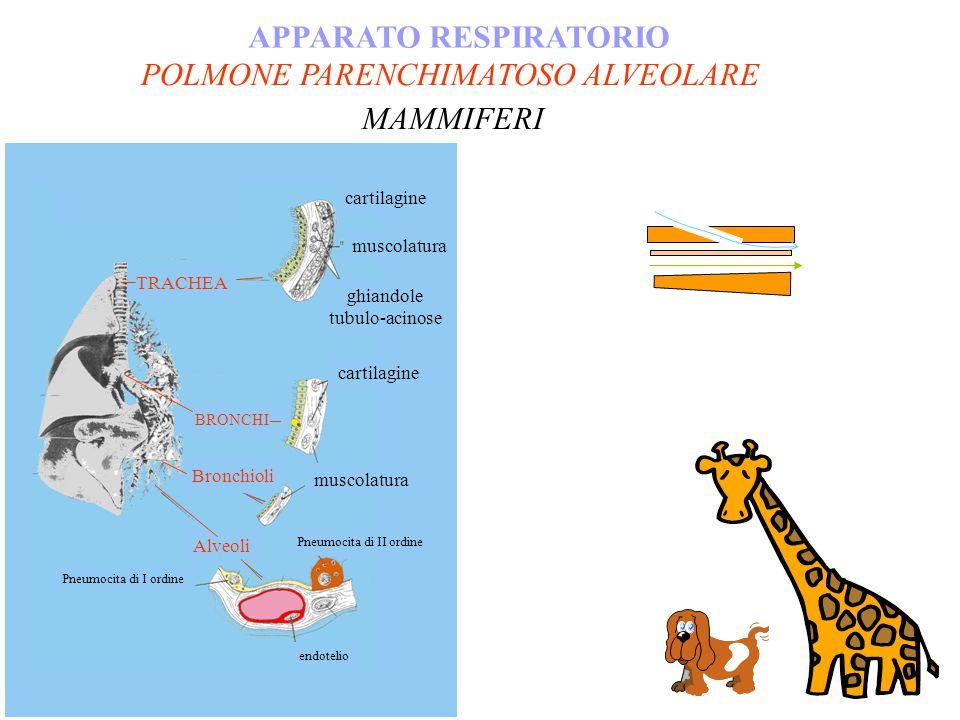 POLMONE PARENCHIMATOSO ALVEOLARE APPARATO RESPIRATORIO MAMMIFERI TRACHEA BRONCHI Pneumocita di I ordine endotelio cartilagine muscolatura Bronchioli A