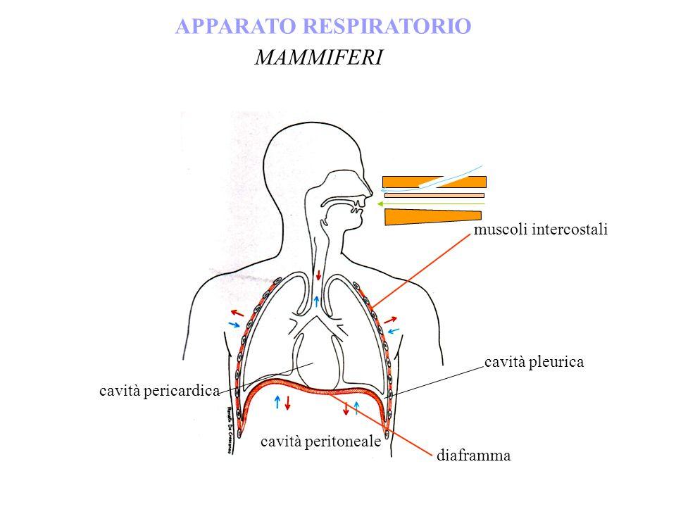 APPARATO RESPIRATORIO MAMMIFERI muscoli intercostali diaframma cavità pleurica cavità peritoneale cavità pericardica