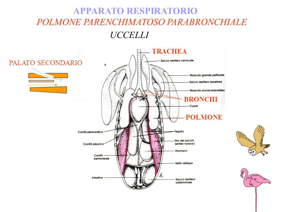 POLMONE PARENCHIMATOSO PARABRONCHIALE APPARATO RESPIRATORIO UCCELLI POLMONE BRONCHI TRACHEA PALATO SECONDARIO
