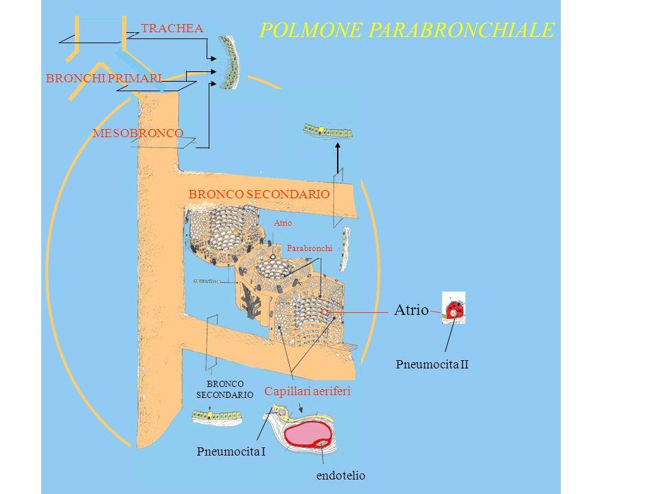 TRACHEA BRONCHI PRIMARI MESOBRONCO BRONCO SECONDARIO BRONCO SECONDARIO Capillari aeriferi Parabronchi Atrio Pneumocita I endotelio Atrio Pneumocita II