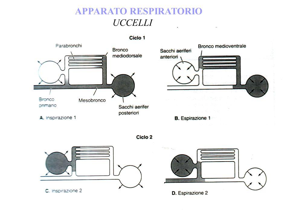 APPARATO RESPIRATORIO UCCELLI