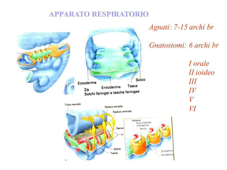 APPARATO RESPIRATORIO Agnati: 7-15 archi br Gnatostomi: 6 archi br I orale II ioideo III IV V VI
