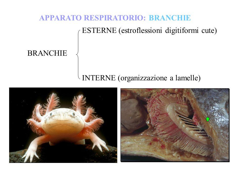 BRANCHIE ESTERNE (estroflessioni digitiformi cute) INTERNE (organizzazione a lamelle) APPARATO RESPIRATORIO: BRANCHIE