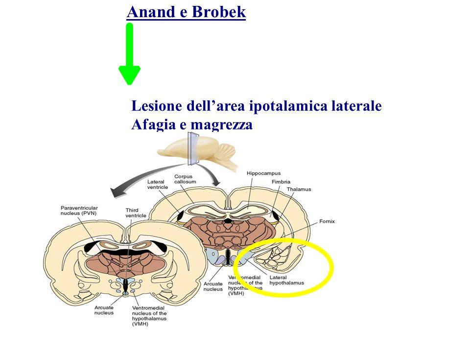 Anand e Brobek Lesione dellarea ipotalamica laterale Afagia e magrezza