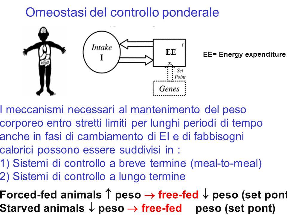 Omeostasi del controllo ponderale EE EE= Energy expenditure I meccanismi necessari al mantenimento del peso corporeo entro stretti limiti per lunghi p