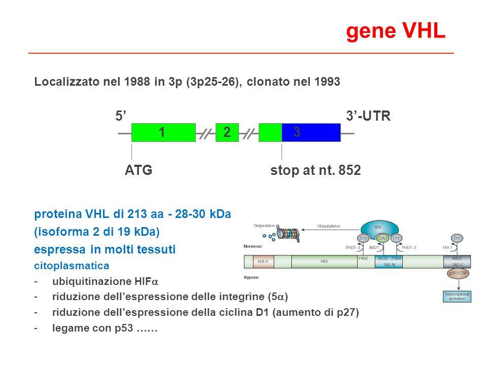 gene VHL Localizzato nel 1988 in 3p (3p25-26), clonato nel 1993 proteina VHL di 213 aa - 28-30 kDa (isoforma 2 di 19 kDa) espressa in molti tessuti citoplasmatica -ubiquitinazione HIF -riduzione dellespressione delle integrine (5 ) -riduzione dellespressione della ciclina D1 (aumento di p27) -legame con p53 …… 53-UTR 132 ATGstop at nt.