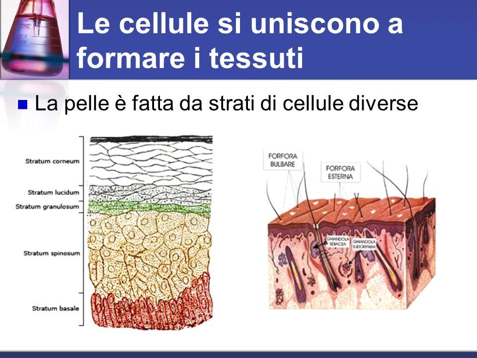 Le cellule si uniscono a formare i tessuti La pelle è fatta da strati di cellule diverse