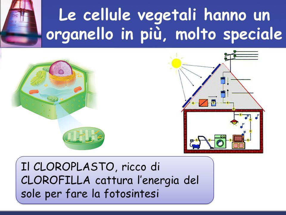 Le cellule vegetali hanno un organello in più, molto speciale Il CLOROPLASTO, ricco di CLOROFILLA cattura lenergia del sole per fare la fotosintesi
