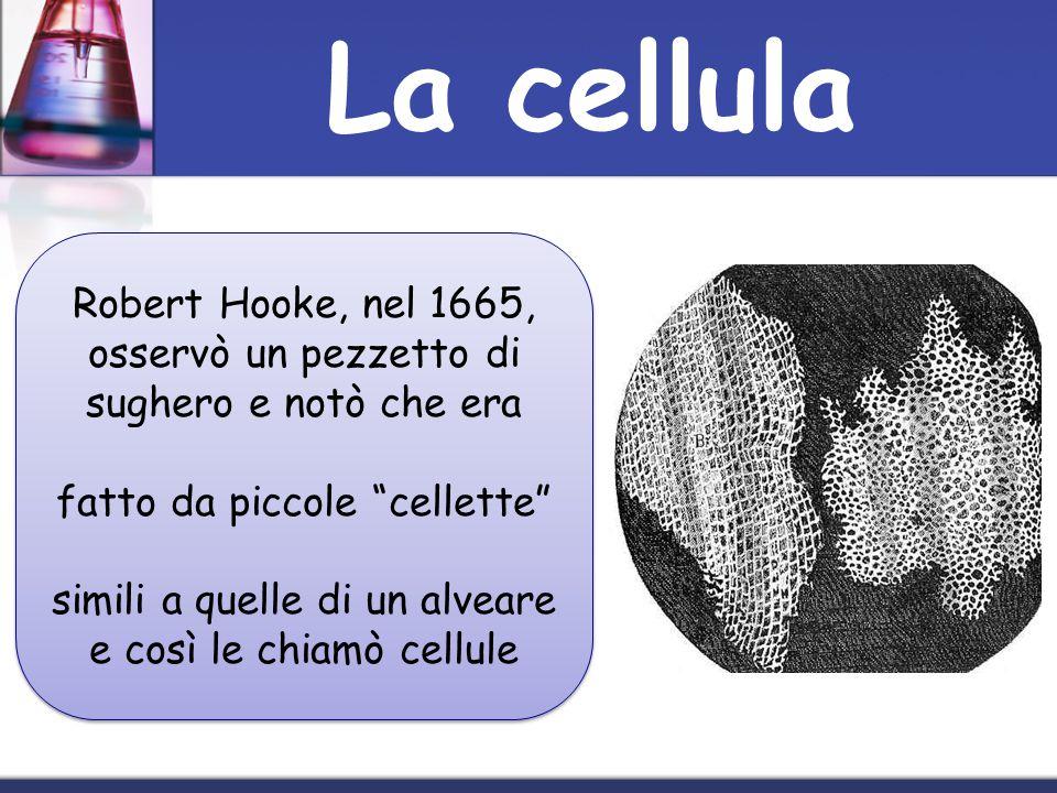 Robert Hooke, nel 1665, osservò un pezzetto di sughero e notò che era fatto da piccole cellette simili a quelle di un alveare e così le chiamò cellule