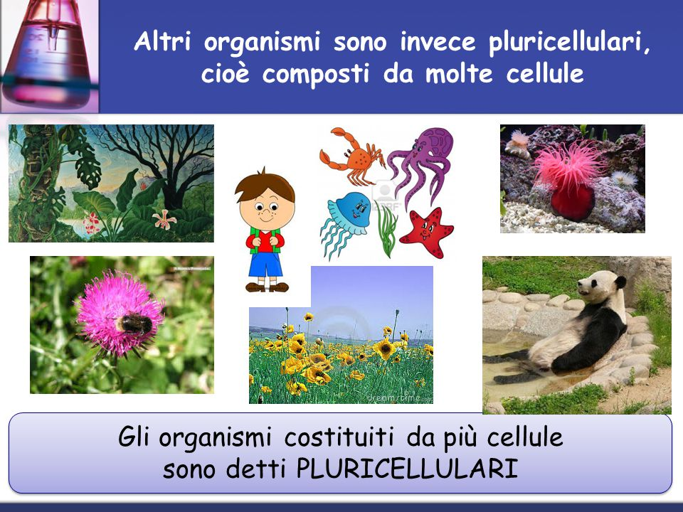 Altri organismi sono invece pluricellulari, cioè composti da molte cellule Gli organismi costituiti da più cellule sono detti PLURICELLULARI Gli organ