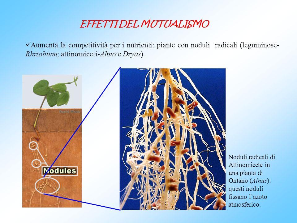 EFFETTI DEL MUTUALISMO Aumenta la competitività per i nutrienti: piante con noduli radicali (leguminose- Rhizobium; attinomiceti-Alnus e Dryas). Nodul
