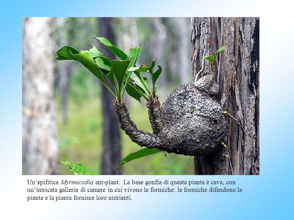 Unepifitica Myrmecodia ant-plant. La base gonfia di questa pianta è cava, con unintricata galleria di camere in cui vivono le formiche: le formiche di