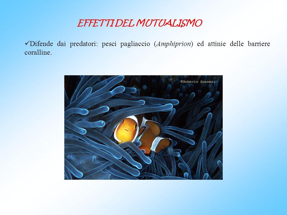 Difende dai predatori: pesci pagliaccio (Amphiprion) ed attinie delle barriere coralline. EFFETTI DEL MUTUALISMO
