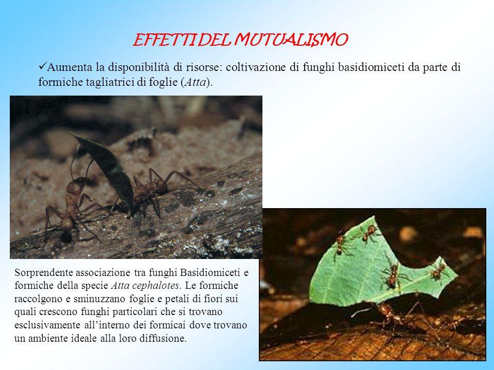 Aumenta la disponibilità di risorse: coltivazione di funghi basidiomiceti da parte di formiche tagliatrici di foglie (Atta). EFFETTI DEL MUTUALISMO So