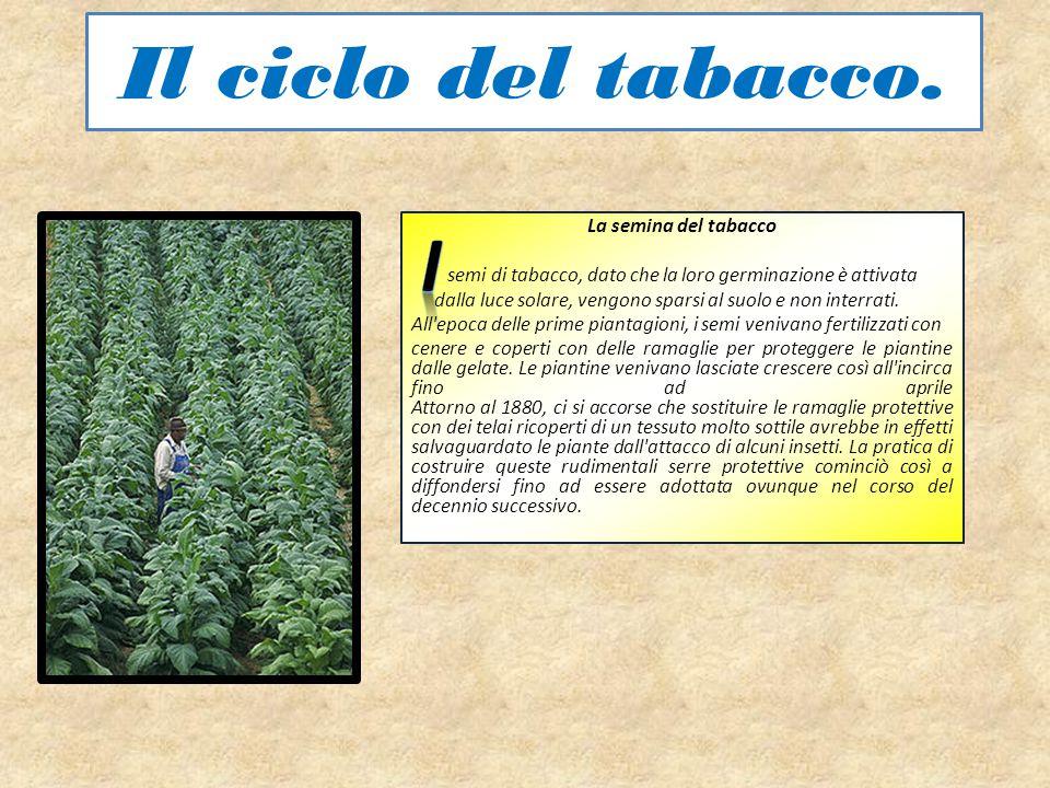 Il ciclo del tabacco. La semina del tabacco semi di tabacco, dato che la loro germinazione è attivata dalla luce solare, vengono sparsi al suolo e non