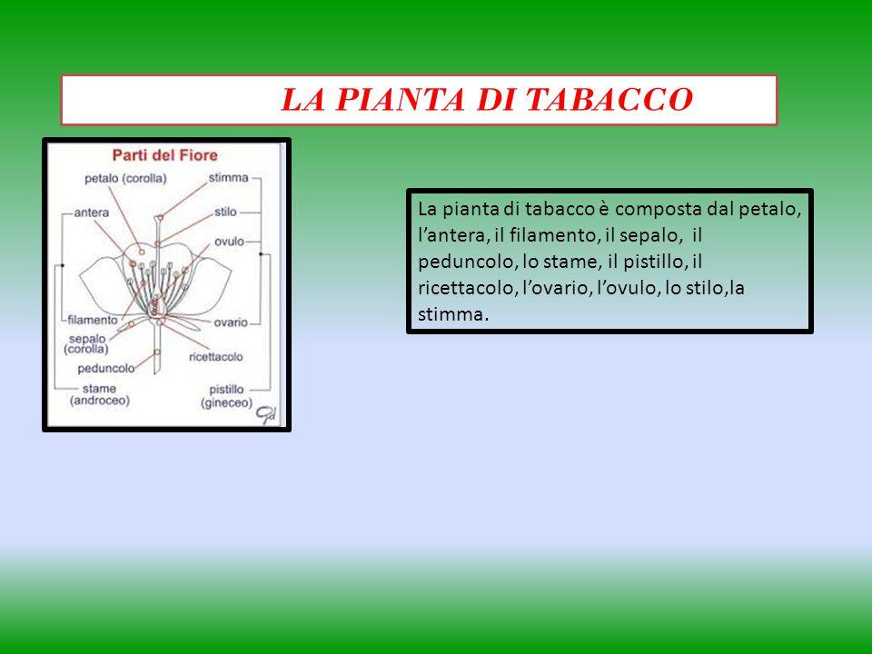 LA PIANTA DI TABACCO La pianta di tabacco è composta dal petalo, lantera, il filamento, il sepalo, il peduncolo, lo stame, il pistillo, il ricettacolo