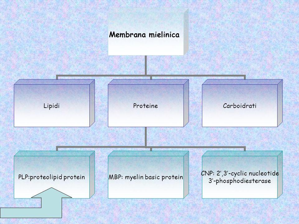 Quattro domini transmembrana; Collocata sul lato extracellulare della membrana; Ogni PLP interagisce con unaltra catena di PLP presente nel giro adiacente della spirale mielinica.