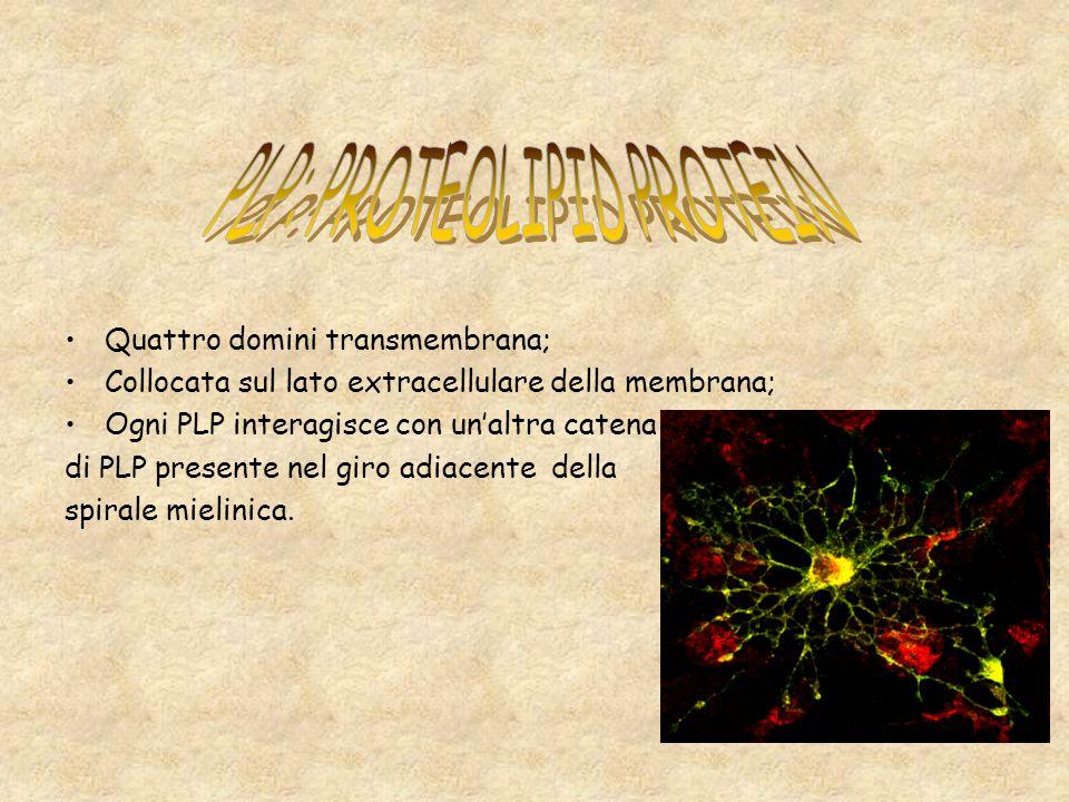 Quattro domini transmembrana; Collocata sul lato extracellulare della membrana; Ogni PLP interagisce con unaltra catena di PLP presente nel giro adiac