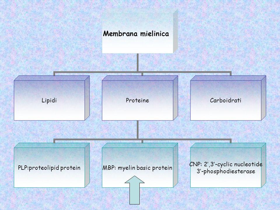 Geni per MBP MBP classica Golli-MBP (dopo splicing alternativo) Organizzazione Trasduzione del citoscheletrica segnale Estensione della membrana Stabilizzazione dei microtubuli Formazione del legame actina-membrana