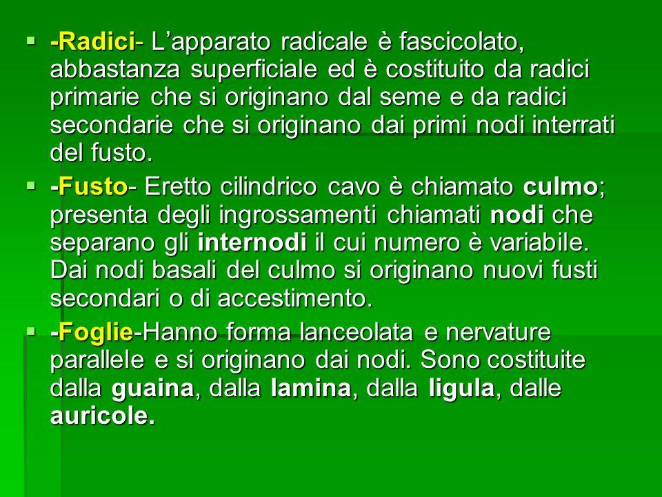 -Radici- Lapparato radicale è fascicolato, abbastanza superficiale ed è costituito da radici primarie che si originano dal seme e da radici secondarie che si originano dai primi nodi interrati del fusto.