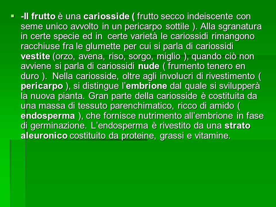 -Il frutto è una cariosside ( frutto secco indeiscente con seme unico avvolto in un pericarpo sottile ).