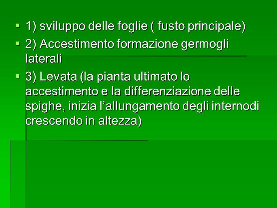 1) sviluppo delle foglie ( fusto principale) 1) sviluppo delle foglie ( fusto principale) 2) Accestimento formazione germogli laterali 2) Accestimento