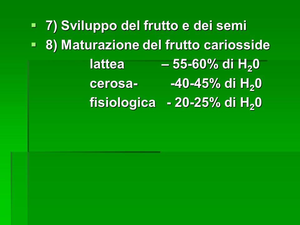 7) Sviluppo del frutto e dei semi 7) Sviluppo del frutto e dei semi 8) Maturazione del frutto cariosside 8) Maturazione del frutto cariosside lattea – 55-60% di H 2 0 lattea – 55-60% di H 2 0 cerosa- -40-45% di H 2 0 cerosa- -40-45% di H 2 0 fisiologica - 20-25% di H 2 0 fisiologica - 20-25% di H 2 0