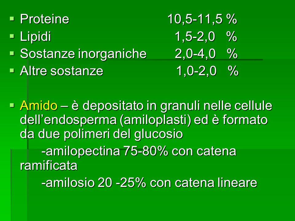 Proteine 10,5-11,5 % Proteine 10,5-11,5 % Lipidi 1,5-2,0 % Lipidi 1,5-2,0 % Sostanze inorganiche 2,0-4,0 % Sostanze inorganiche 2,0-4,0 % Altre sostanze 1,0-2,0 % Altre sostanze 1,0-2,0 % Amido – è depositato in granuli nelle cellule dellendosperma (amiloplasti) ed è formato da due polimeri del glucosio Amido – è depositato in granuli nelle cellule dellendosperma (amiloplasti) ed è formato da due polimeri del glucosio -amilopectina 75-80% con catena ramificata -amilopectina 75-80% con catena ramificata -amilosio 20 -25% con catena lineare -amilosio 20 -25% con catena lineare