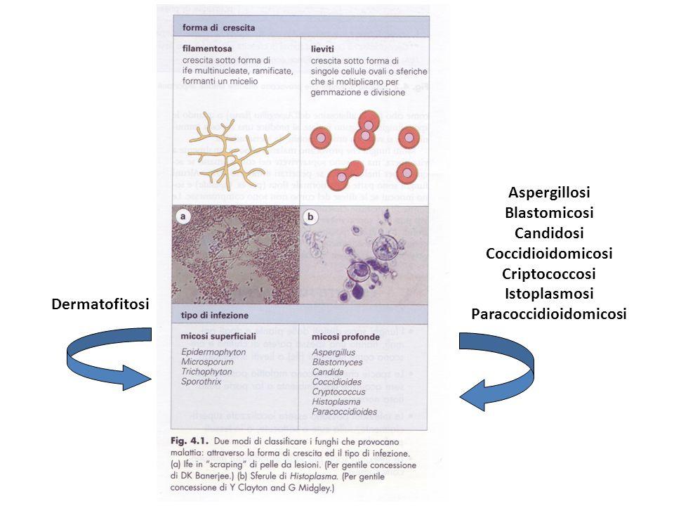 Dermatofitosi Aspergillosi Blastomicosi Candidosi Coccidioidomicosi Criptococcosi Istoplasmosi Paracoccidioidomicosi