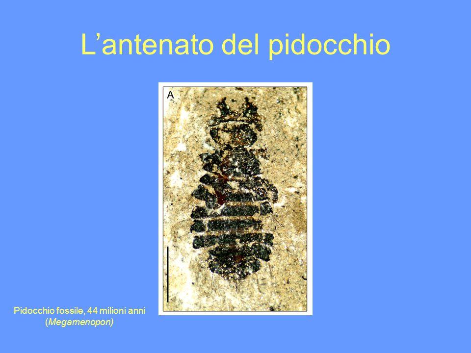 Lantenato del pidocchio Pidocchio fossile, 44 milioni anni (Megamenopon)