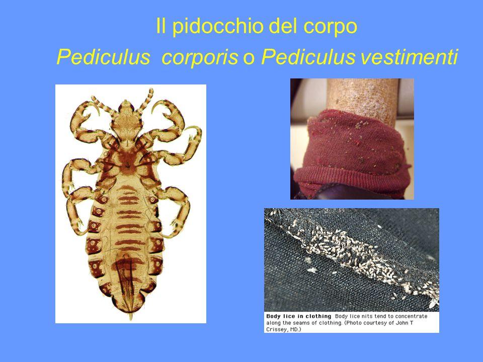 Il pidocchio del corpo Pediculus corporis o Pediculus vestimenti