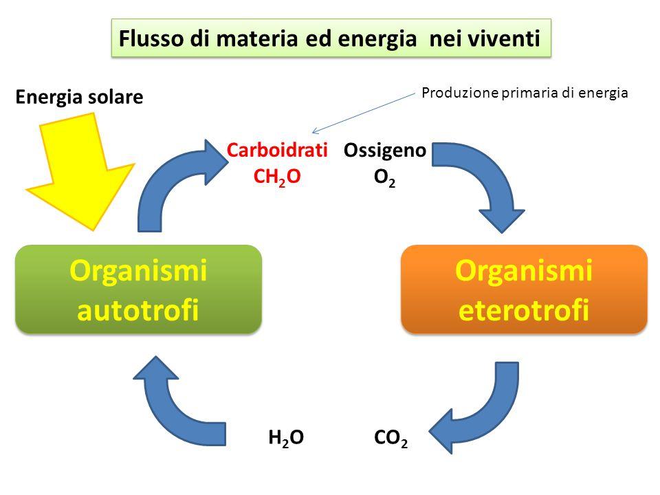Organismi autotrofi Energia solare H2OH2OCO 2 Carboidrati CH 2 O Ossigeno O 2 Flusso di materia ed energia nei viventi Organismi eterotrofi Produzione