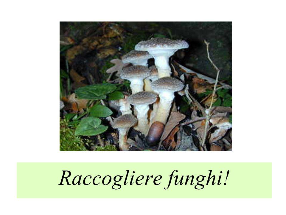Raccogliere funghi!