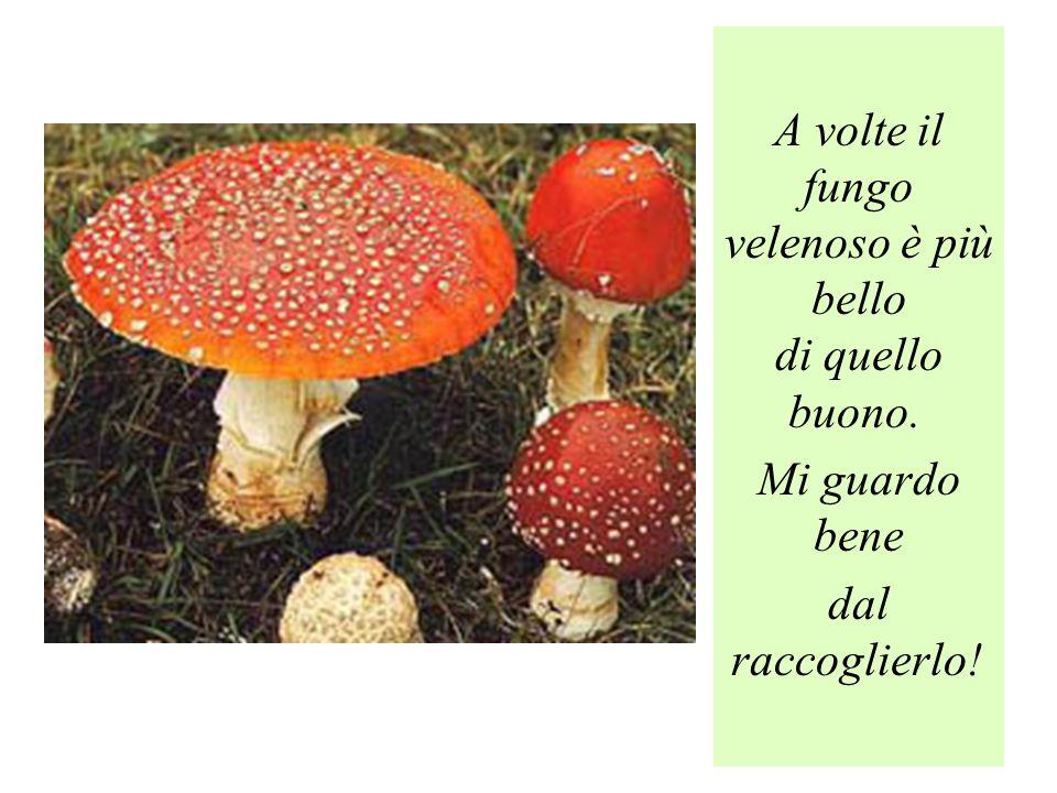 A volte il fungo velenoso è più bello di quello buono. Mi guardo bene dal raccoglierlo!