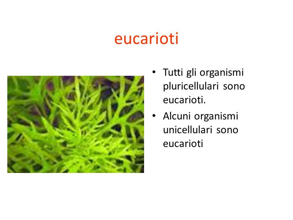 eucarioti Tutti gli organismi pluricellulari sono eucarioti. Alcuni organismi unicellulari sono eucarioti