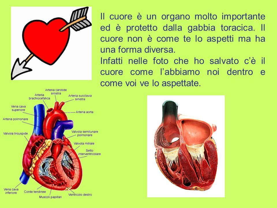 Il cuore è un organo molto importante ed è protetto dalla gabbia toracica.