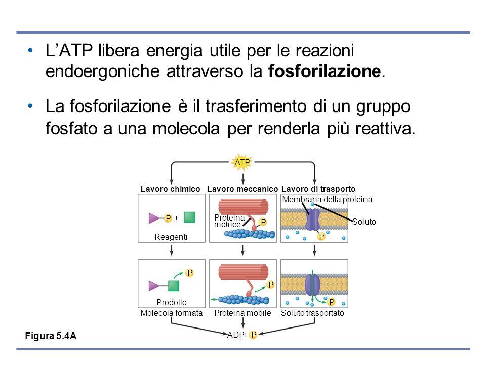 LATP libera energia utile per le reazioni endoergoniche attraverso la fosforilazione. La fosforilazione è il trasferimento di un gruppo fosfato a una
