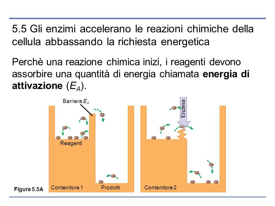 5.5 Gli enzimi accelerano le reazioni chimiche della cellula abbassando la richiesta energetica Perchè una reazione chimica inizi, i reagenti devono a
