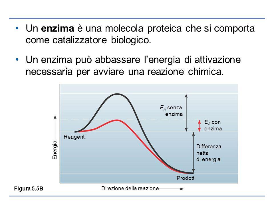 Un enzima è una molecola proteica che si comporta come catalizzatore biologico. Un enzima può abbassare lenergia di attivazione necessaria per avviare
