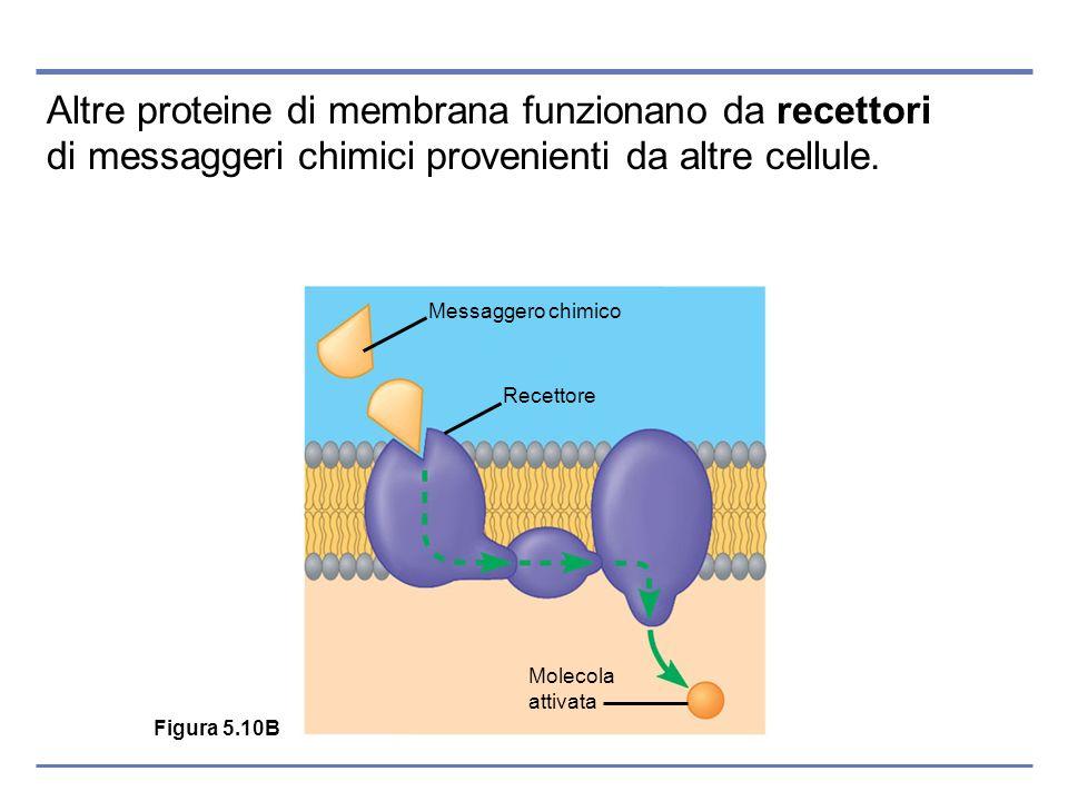Altre proteine di membrana funzionano da recettori di messaggeri chimici provenienti da altre cellule. Figura 5.10B Messaggero chimico Recettore Molec
