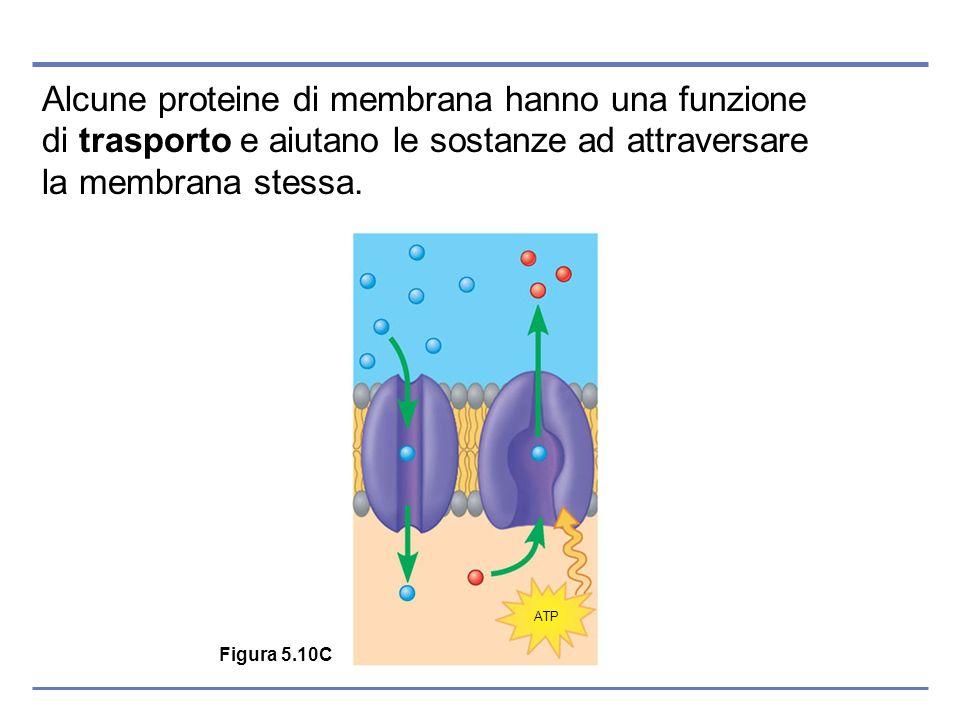 Alcune proteine di membrana hanno una funzione di trasporto e aiutano le sostanze ad attraversare la membrana stessa. Figura 5.10C ATP