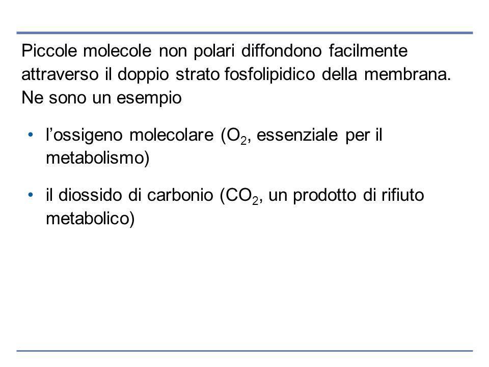 Piccole molecole non polari diffondono facilmente attraverso il doppio strato fosfolipidico della membrana. Ne sono un esempio lossigeno molecolare (O
