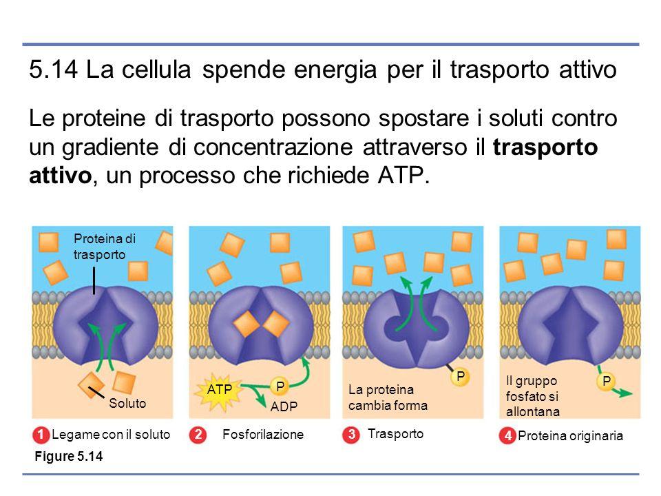 P P P La proteina cambia forma Il gruppo fosfato si allontana ATP ADP Soluto Proteina di trasporto Legame con il soluto 1 Fosforilazione 2 Trasporto 3