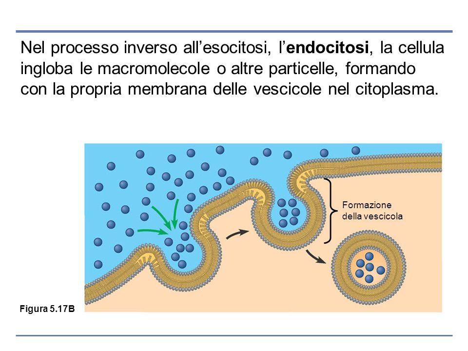 Nel processo inverso allesocitosi, lendocitosi, la cellula ingloba le macromolecole o altre particelle, formando con la propria membrana delle vescico