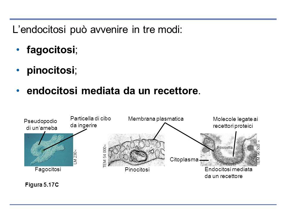 Lendocitosi può avvenire in tre modi: fagocitosi; pinocitosi; endocitosi mediata da un recettore. Pseudopodio di unameba Particella di cibo da ingerir