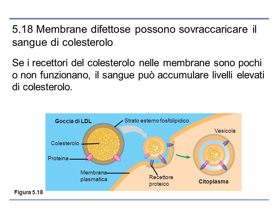 5.18 Membrane difettose possono sovraccaricare il sangue di colesterolo Se i recettori del colesterolo nelle membrane sono pochi o non funzionano, il