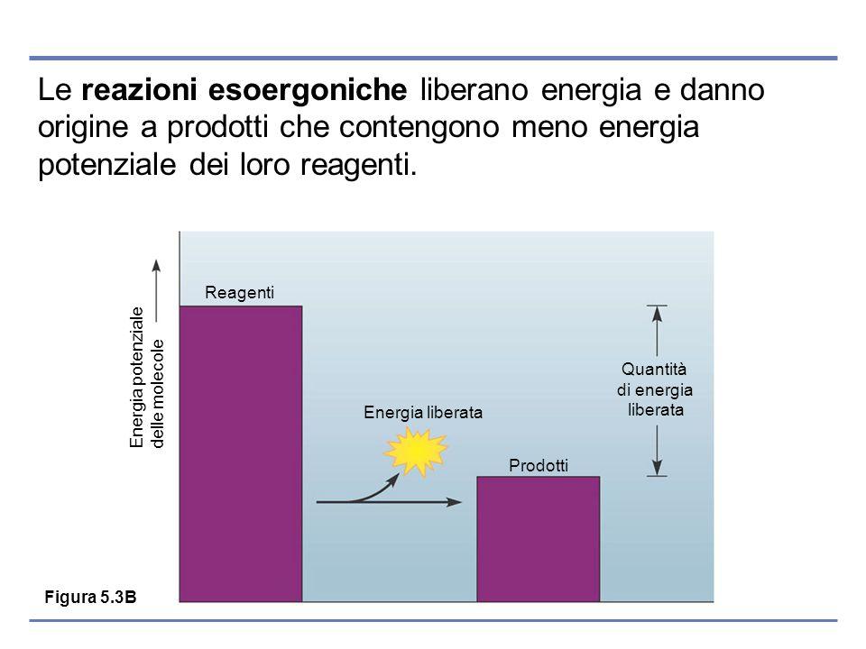 Le reazioni esoergoniche liberano energia e danno origine a prodotti che contengono meno energia potenziale dei loro reagenti. Figura 5.3B Reagenti En